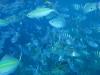 many_fish